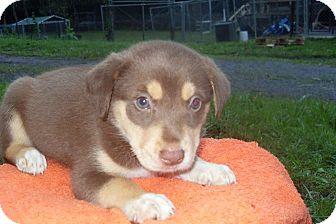 Husky/Labrador Retriever Mix Puppy for adoption in Bartonsville, Pennsylvania - Sebastian