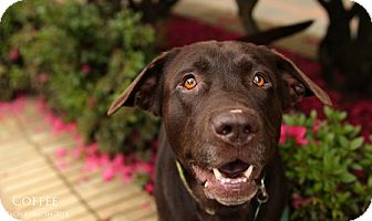Labrador Retriever Mix Dog for adoption in Portland, Oregon - Coffee