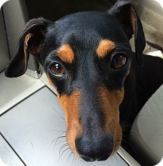 Dachshund Dog for adoption in Wimberley, Texas - Pickles