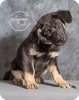 German Shepherd Dog/Alaskan Malamute Mix Puppy for adoption in Cincinnati, Ohio - Aspen