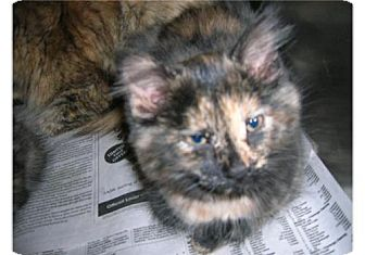 Domestic Mediumhair Kitten for adoption in Hamilton, Ontario - Amalthea