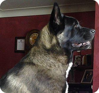 Akita Dog for adoption in Toledo, Ohio - Thor - Courtesy Post