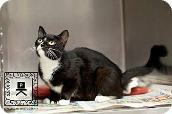 Domestic Shorthair Cat for adoption in Fredericksburg, Virginia - Margaux