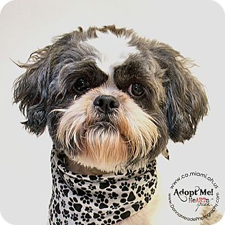 Shih Tzu Dog for adoption in Troy, Ohio - Calvin