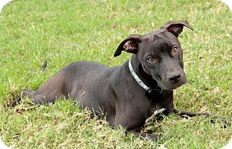 Pit Bull Terrier/Blue Lacy/Texas Lacy Mix Puppy for adoption in Cat Spring, Texas - Jackson*