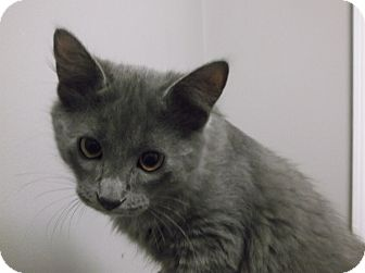 Siamese Kitten for adoption in Farmington Hills, Michigan - Amos