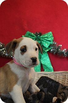 Labrador Retriever Mix Puppy for adoption in Waldorf, Maryland - Avery