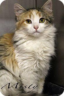 Domestic Longhair Cat for adoption in Texarkana, Arkansas - Misty