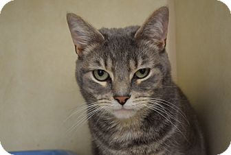Domestic Shorthair Cat for adoption in Bucyrus, Ohio - Baby Huey