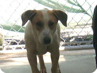 Basset Hound Mix Dog for adoption in Jacksonville, Texas - Barley