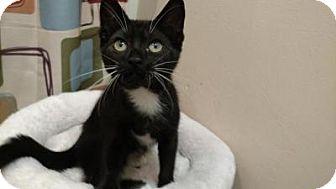 Domestic Shorthair Kitten for adoption in Tampa, Florida - Domino