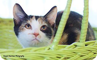 Domestic Shorthair Kitten for adoption in Nashville, Tennessee - Louise
