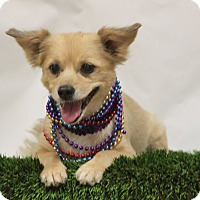Pomeranian/Dachshund Mix Dog for adoption in Fresno, California - Sadie