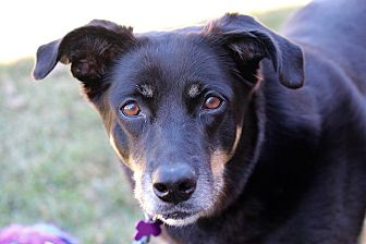 Shepherd (Unknown Type) Mix Dog for adoption in Springfield, Missouri - Cocoa (SPONSORED)