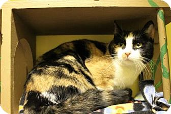 Domestic Shorthair Cat for adoption in West Des Moines, Iowa - Twix