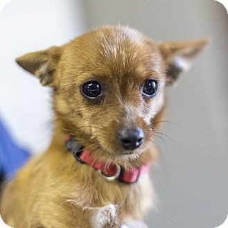 Terrier (Unknown Type, Small)/Chihuahua Mix Dog for adoption in Severance, Colorado - TODD