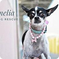 Adopt A Pet :: Amelia - Shawnee Mission, KS