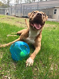 Mastiff/American Staffordshire Terrier Mix Dog for adoption in Harrisville, Rhode Island - Hooch