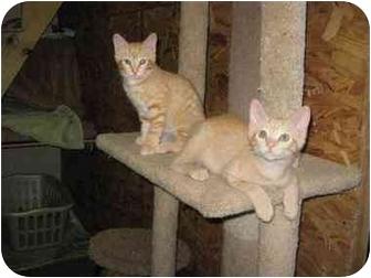 Domestic Shorthair Kitten for adoption in Bloomsburg, Pennsylvania - Drake & Luke