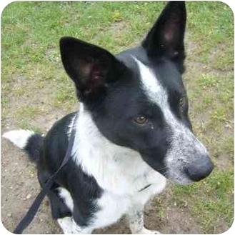 Border Collie Mix Dog for adoption in Kitchener, Ontario - Potsie