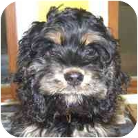 Cockapoo Puppy for adoption in Coleraine, Minnesota - Squeekers