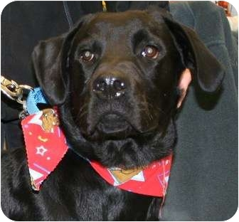 Labrador Retriever/Retriever (Unknown Type) Mix Dog for adoption in Berea, Ohio - Scottie