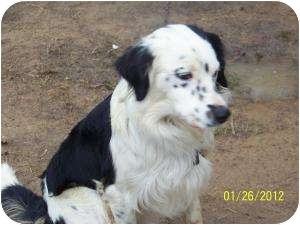 English Setter Mix Dog for adoption in Allentown, Pennsylvania - Bones-PENDING