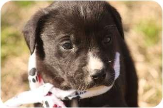 Labrador Retriever Mix Puppy for adoption in Cranford, New Jersey - Blake