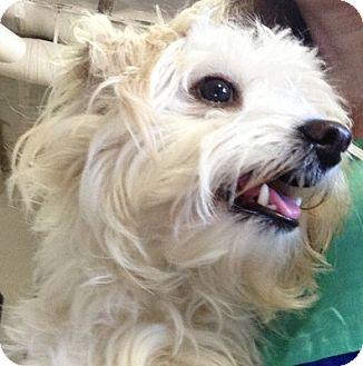 Maltese/Poodle (Miniature) Mix Dog for adoption in Thousand Oaks, California - Mia Marie