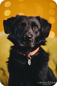 Labrador Retriever/Field Spaniel Mix Dog for adoption in Portland, Oregon - Kellogg