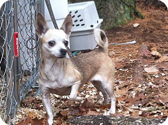 Chihuahua Mix Dog for adoption in Wappingers, New York - Cricket