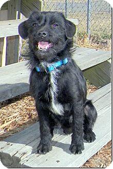 Wheaten Terrier/Terrier (Unknown Type, Medium) Mix Dog for adoption in Sullivan, Missouri - Cameron