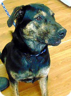 Rottweiler/German Shepherd Dog Mix Dog for adoption in Taylorsville, North Carolina - Nola