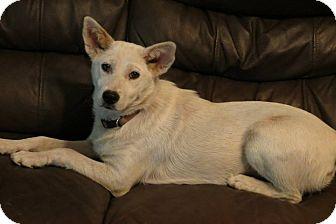 Shepherd (Unknown Type)/Corgi Mix Dog for adoption in berwick, Maine - Flurry