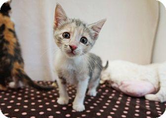 Domestic Shorthair Kitten for adoption in Houston, Texas - Leeann