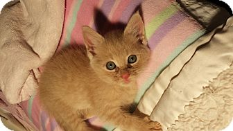 Domestic Mediumhair Kitten for adoption in Media, Pennsylvania - Cheerio