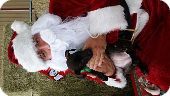 Labrador Retriever/Pit Bull Terrier Mix Puppy for adoption in Seguin, Texas - Bubbles