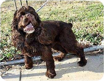 Cocker Spaniel Dog for adoption in Flushing, New York - Raisinet