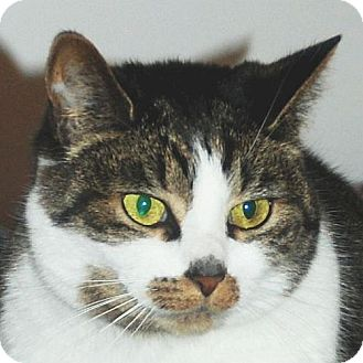 Domestic Shorthair Cat for adoption in Port Angeles, Washington - Danielle