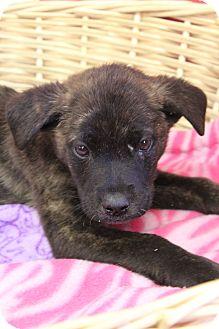 Plott Hound/Boxer Mix Puppy for adoption in Waldorf, Maryland - Evant