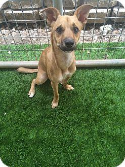 Whippet/Rhodesian Ridgeback Mix Dog for adoption in San Antonio, Texas - Tyson