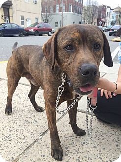 Plott Hound Dog for adoption in Cliffside Park, New Jersey - QUINN