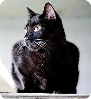 Domestic Shorthair Cat for adoption in Savannah, Georgia - Midnight