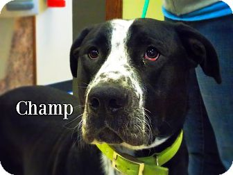 Great Dane Mix Dog for adoption in Defiance, Ohio - Champ