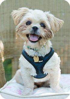 Shih Tzu Puppy for adoption in Tallahassee, Florida - Rhett - ADOPTED