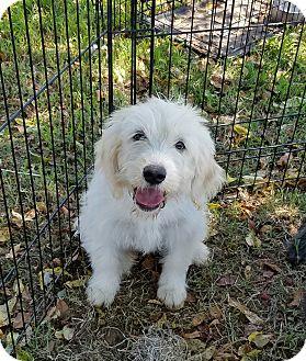 Terrier (Unknown Type, Medium)/Cattle Dog Mix Puppy for adoption in Chicopee, Massachusetts - Yasmin