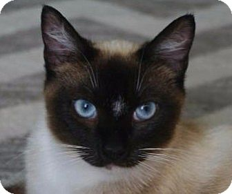Siamese Cat for adoption in Cincinnati, Ohio - Olive