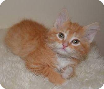 Maine Coon Kitten for adoption in Davis, California - Clancy
