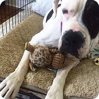 American Bulldog Mix Dog for adoption in Staunton, Virginia - Baby