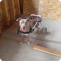 Adopt A Pet :: Blue - Post Falls, ID